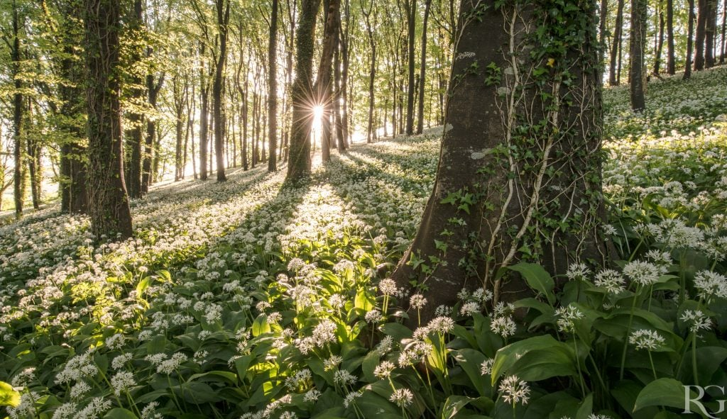 Robin_Goodlad_Food_Photography wild garlic ransoms